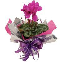5019 - Cyclamen Plant Pink