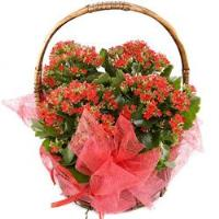 4686 - Red Kalanchoe Plants