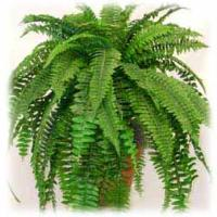 5016 - Boston fern