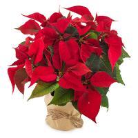 4668 - Poinsettia Plant