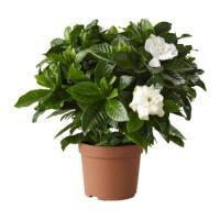 2775 - Gardenia
