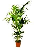 2790 - Kentia Palm
